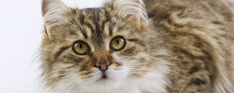 Hay quien cree que este gato comparte genes con los mapaches por el parecido de sus colas