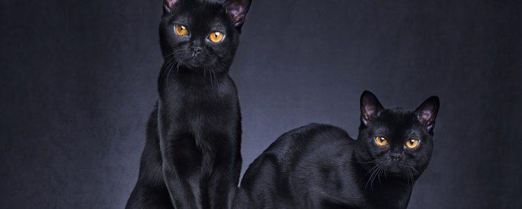 El gato Bombay es un felino muy afectuoso, pacífico y tranquilo