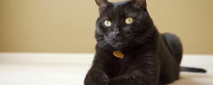 El gato Bombay destaca físicamente por su pelaje negro y sus ojos verdes