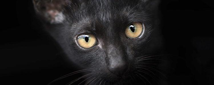 El gato Bombay, una mini-pantera
