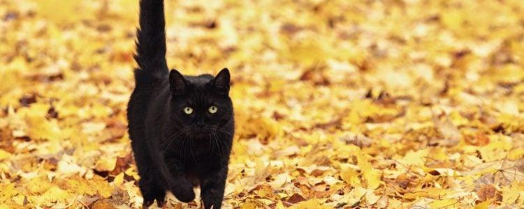 El gato Bombay no requiere muchos cuidados y es un felino muy sano