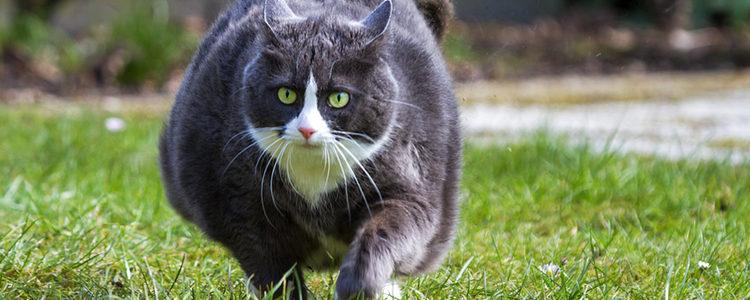 Procura que tu gato haga ejercicio