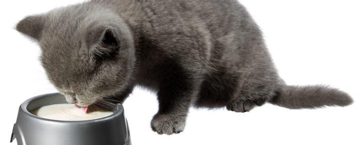 El estómago de los gatos durante sus primeros meses de vida es especialmente delicado