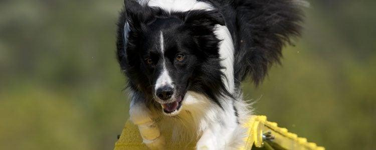 Esta raza de perro necesita de una continua actividad física