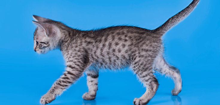 Los gatos 'Mau' se carcaterizan por tener en su pelaje una serie de manchas redondas