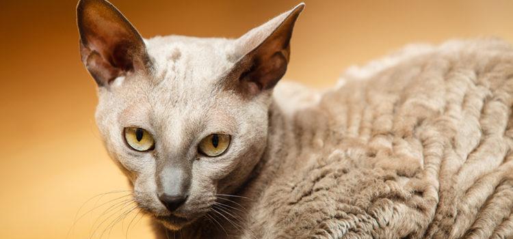 'Mau' en egipcio significa gato y se dice que esta raza era la preferida de la diosa Cleopatra