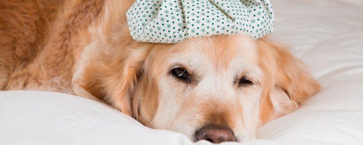 Un perro puede resfriarse con la misma frecuencia que un ser humano