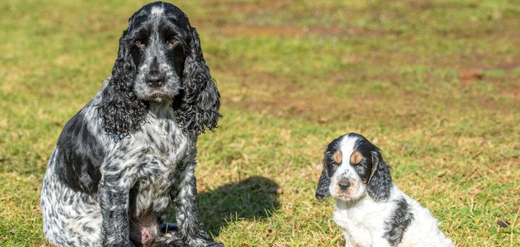 Conocer los antepasados de la perra nos ayudará a saber cuánto podría durar el embarazo