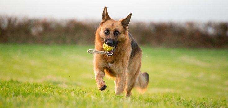 El trastorno de hiperactividad en perros se suele dar cuando estos necesitan realizar una gran cantidad de ejercicio físico
