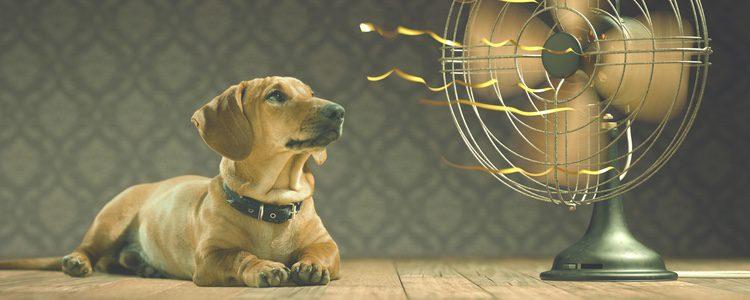 Dependiendo del tipo de perro, serán más propensos a sufrir el calor