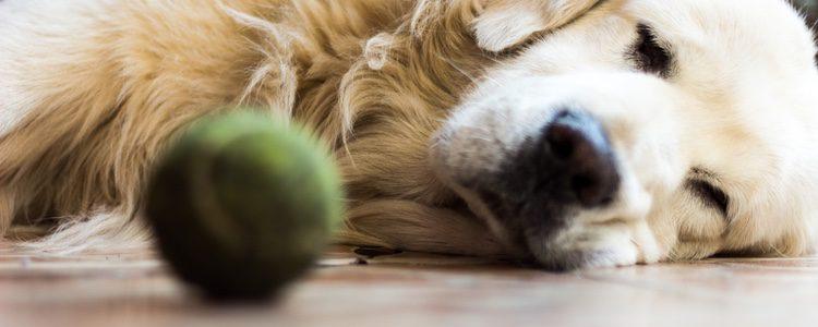 La artritis es una enfermedad muy común en los perros