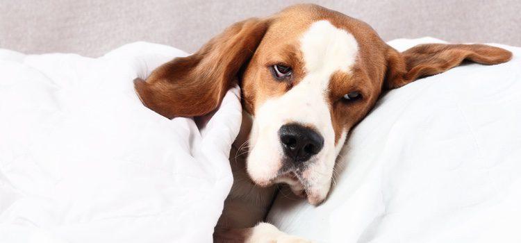 El moquillo canino puede afectar al sistema digestivo, al nervioso y al aparato respiratorio de nuestro perro
