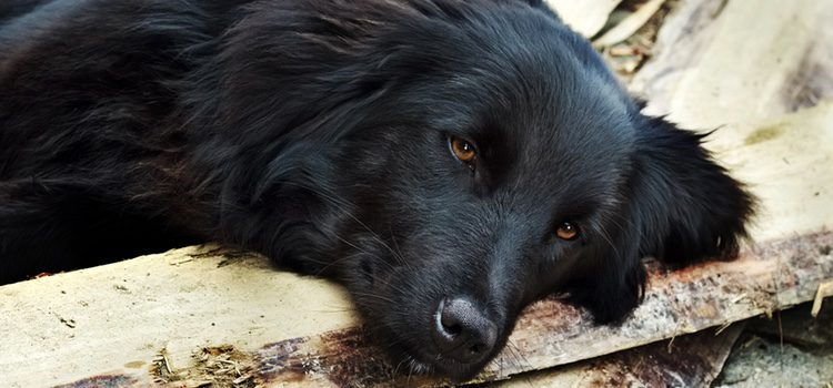 Esta enfermedad puede llegar a causar deshidratación en nuestro perro