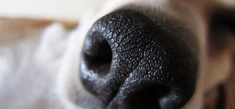 A través de sus secreciones nasales los perros pueden contagiar a otros canes la enfermedad