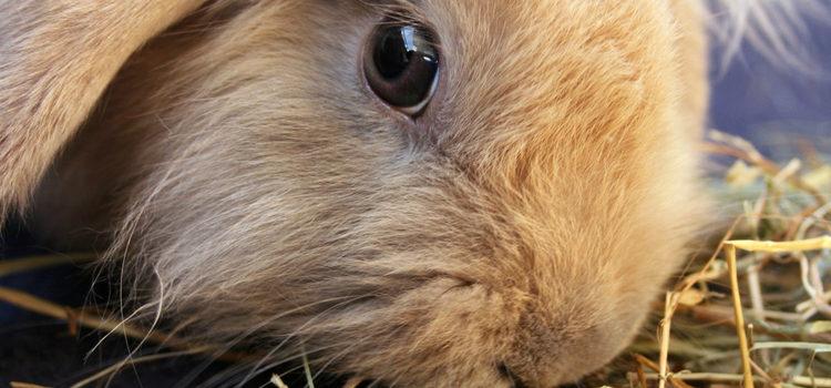 Es recomensable ofrecer a nuestro conejo ramitas secas con las que pueda roer sus dientes