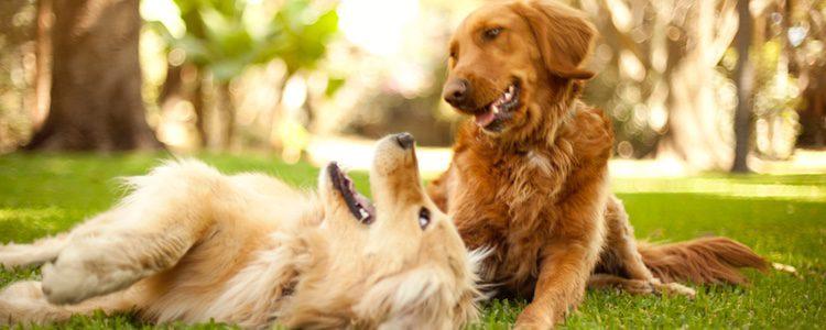 Existe un estudio que afirma que el amor es químicamente evidente en los perros cuando miran a sus dueños