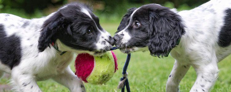 La mente del perro es equivalente a la de un ser humano de entre un año y medio y dos años con respecto a las capacidades mentales y emocionales