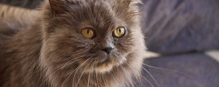 La raza de gatos persa es una de las más cariñosas