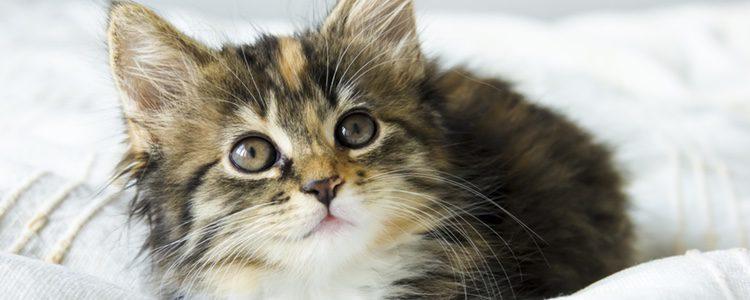 Puede que la aparición de un segundo gato en el hogar a corto plazo traiga problemas
