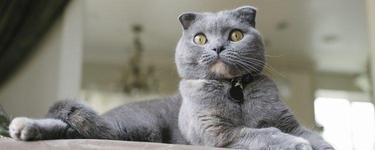 La raza British Shothair de gatos son cariñosos con los niños
