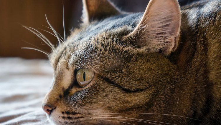 Si tu gato suele pasar mucho tiempo en el exterior de la casa tiene más probabilidades de contagiarse