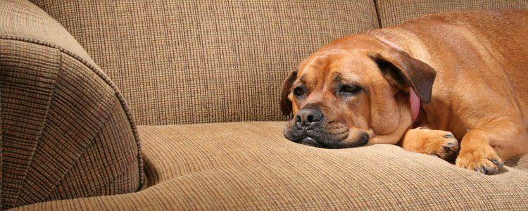 Los perros suelen estar apáticos y cansados cuando sufren un cólico