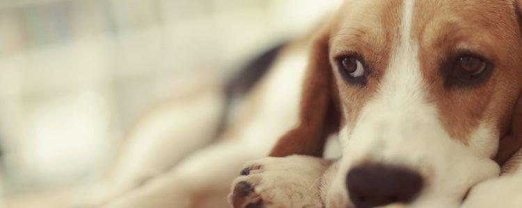Da cariño a tu perro cuando se encuentre mal