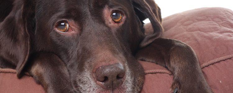 Los perros se pueden mostrar apáticos cuando tienen gases
