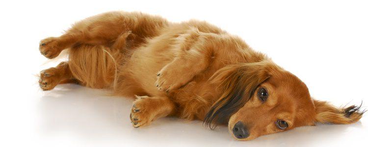 Los perros puden padecer gases igual que los humanos