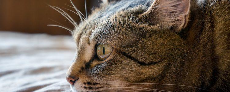 Cuesta identificar cuando un gato padece sordera
