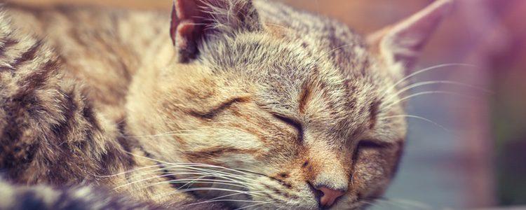 Si tu gato no reacciona a los ruidos probablemente padezca sordera