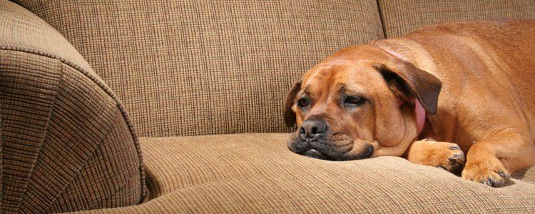 Si notas a tu perro más apático de lo habitual y no se mueve mucho, preocúpate por ver que le ocurre