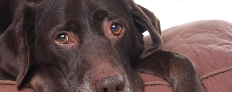 Si crees que tu perro tiene algo más grave no dudes en acudir a un profesional que lo estudie
