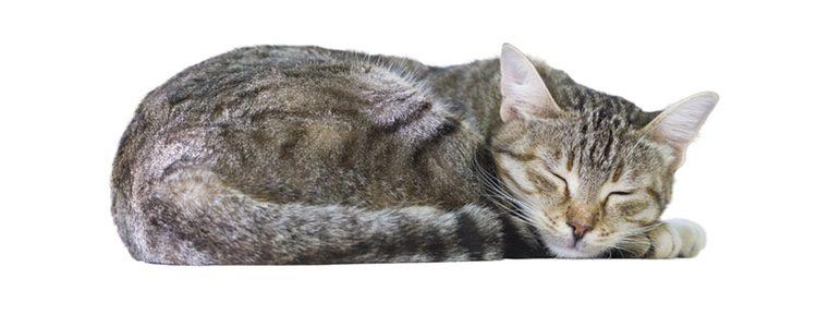 Los gatos con una mascota que duerme muchas horas, tanto de día como de noche
