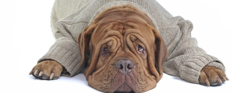 Cuando empiece a hacer frío es importante que estés pendiente de las reacciones de tu perro