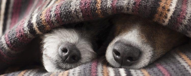 Lo más importante para combatir el frío de tu perro es taparle con una manta