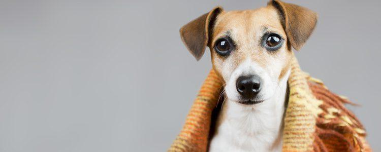 Es muy importante cuidar los oídos de tu perro en invierno