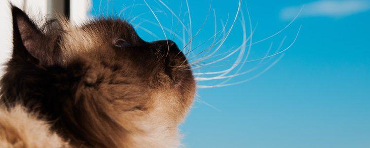 El gato Himalayo, un gran compañero de vida
