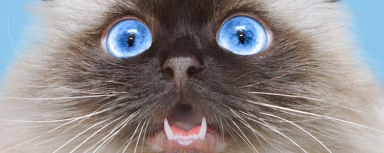 El gato Himalayo es un felino ideal para tener en casan