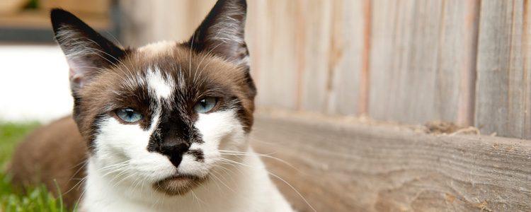 Los gatos de la raza Snowhoe son muy musculosos
