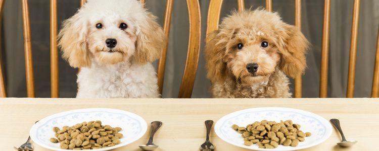Los perros también pueden ser intolerantes al gluten