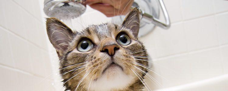 Según el pelaje que tenga tu gato deberás darle un baño u otro