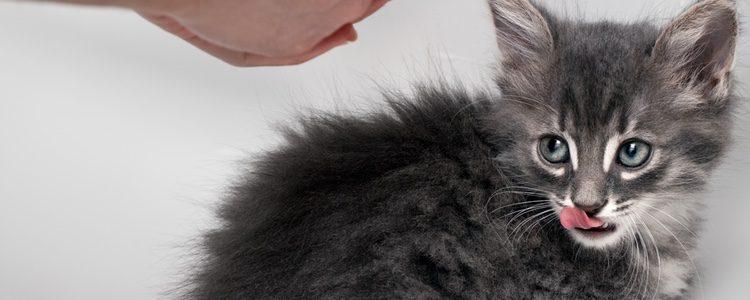El pelo del gato es un rasgo muy importante en su personalidad y expresión