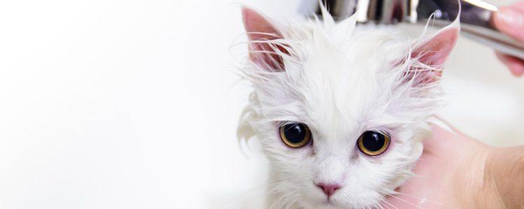 La alimentación repercute en la forma del pelaje de los felinos