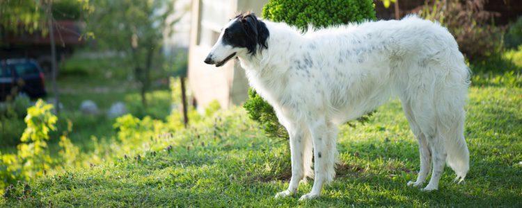 Hay que tener en cuenta que su gran tamaño exige que el perro tenga que consumir cerca de un kilo de pienso