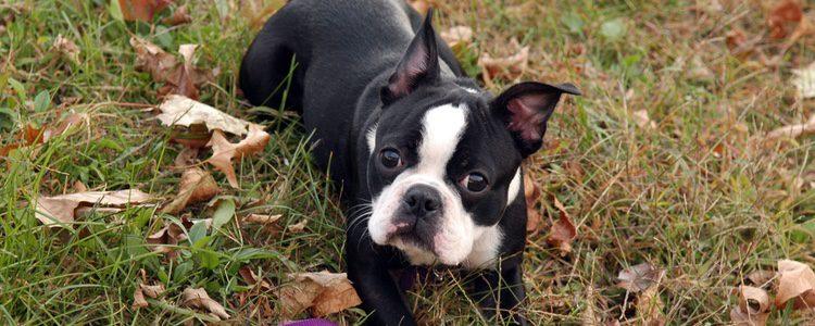 El Boston Terrier tiene arrugas en el hocico y vas a tener que preocuparte de mantenerlas siempre bien limpias