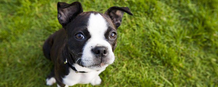 Se trata de una raza de perro pequeña muy fácil de entretener