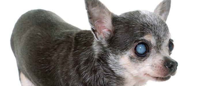 Es necesario observar los ojos de nuestro perro para detectar anomalías