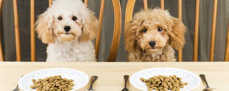 Los perros pueden sufrir de falta de apetito debida a causas de distinta índole