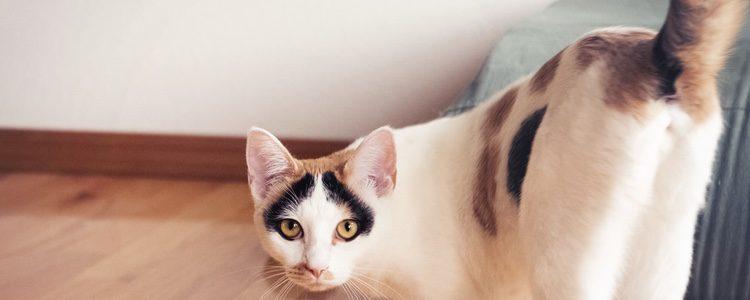 Si tu gato tiene la cola rígida pero apunta hacia un lado es que algo está despertando su interés